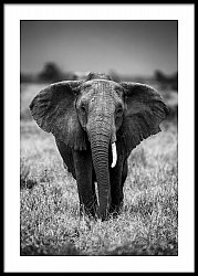Single Tusk Elephant